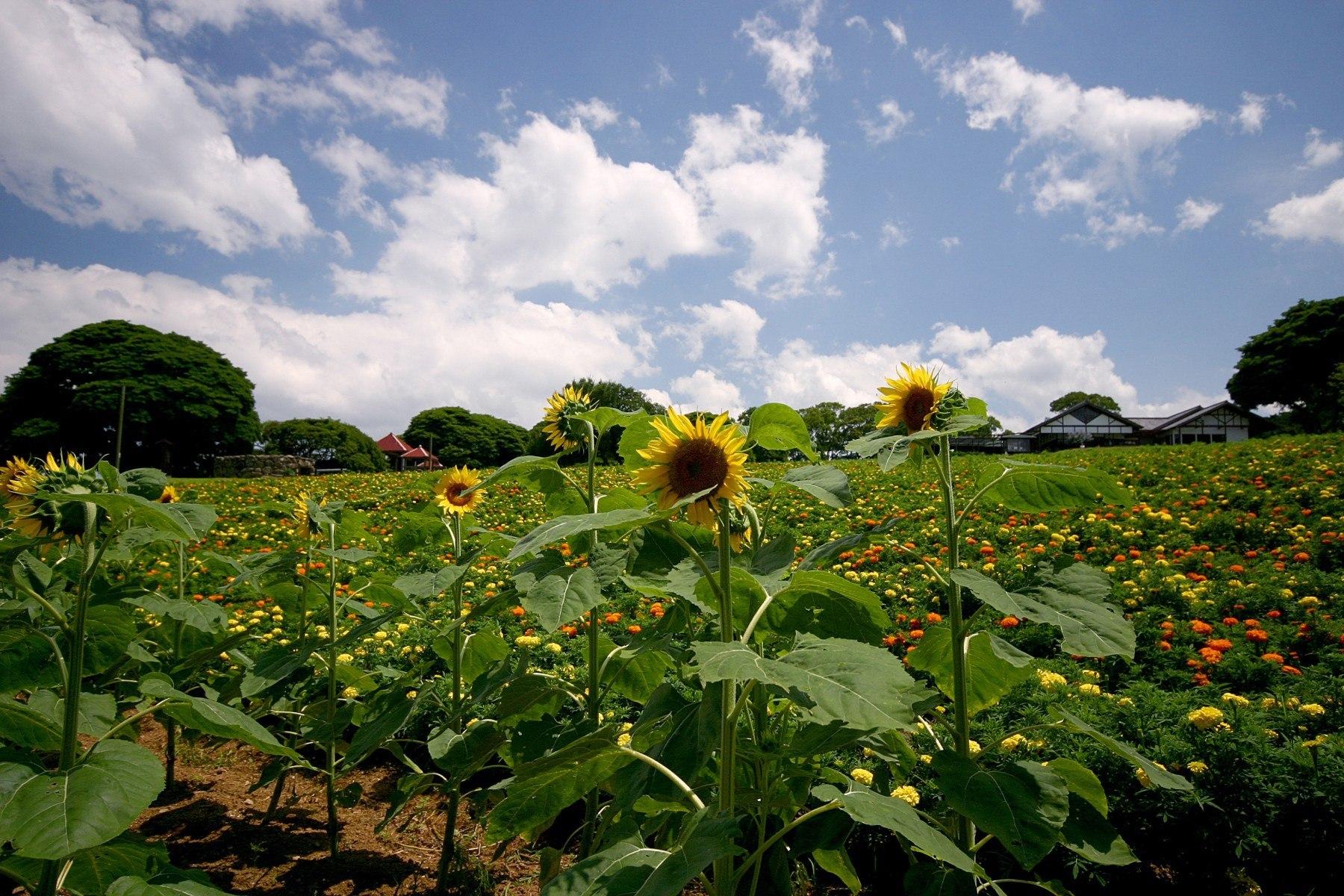 のこのしまアイランドパーク・パノラマ花畑(2009)の画像