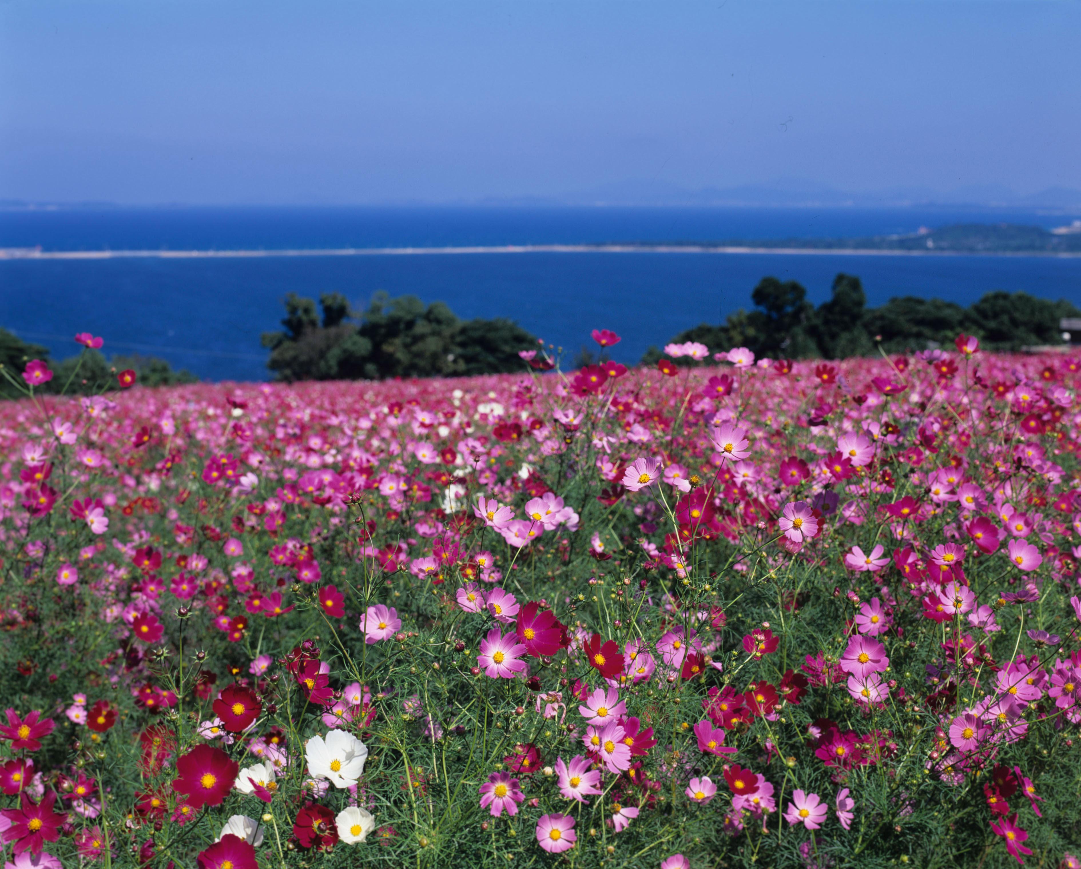 能古島・アイランドパーク コスモス(撮影年不明)の画像