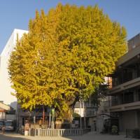 櫛田の銀杏(2010)の画像