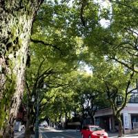 香椎宮参道のクス並木(2010)の画像