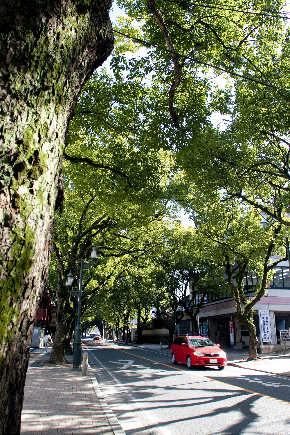 Image of Camphor Trees along Kashii-sando Ave.(2010)