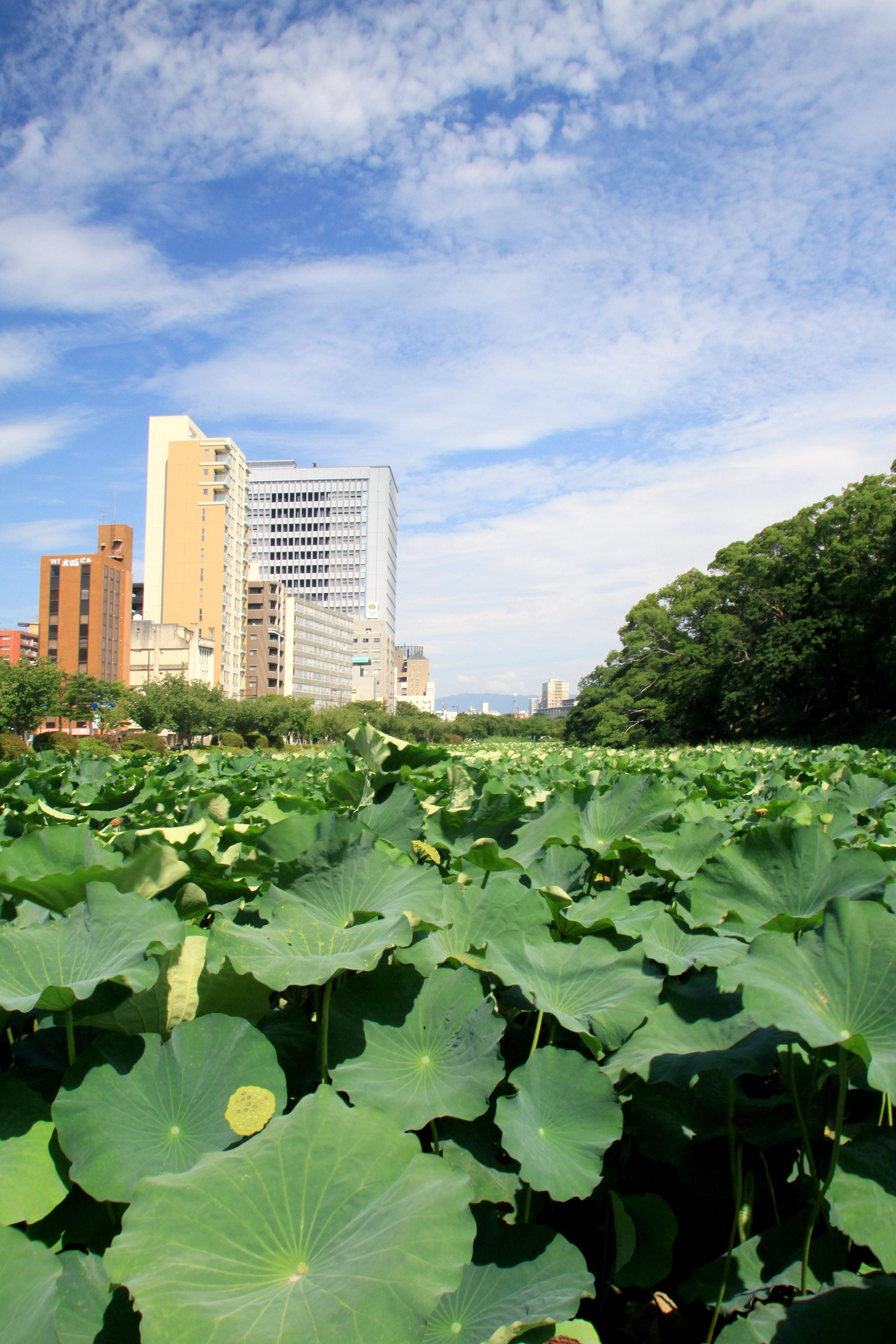 舞鶴公園・お堀のハス(2009)の画像