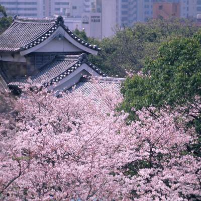 福岡城跡・美しい桜の季節(撮影年不明)の画像