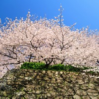 福岡城跡・桜(2009)の画像