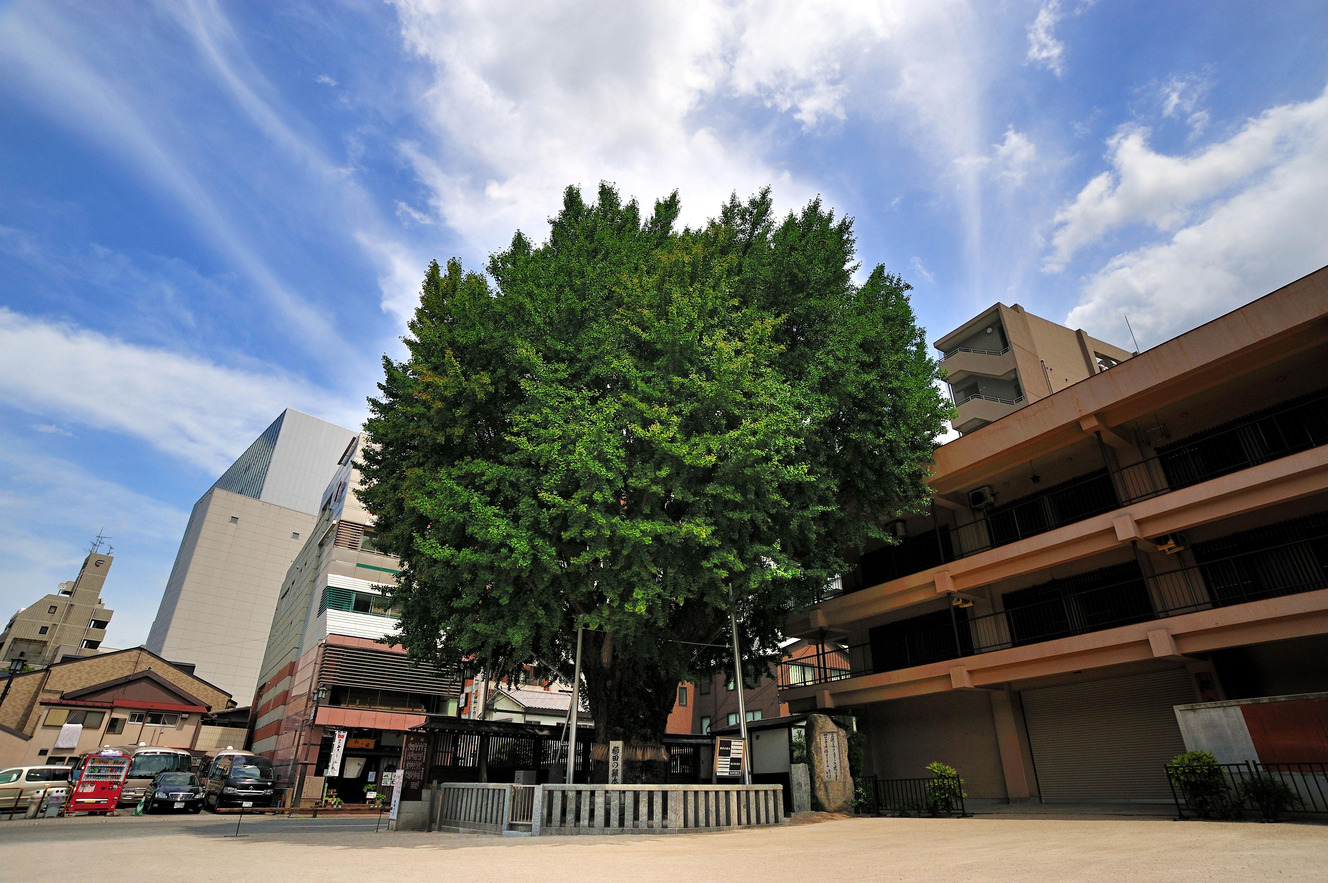 櫛田の銀杏(2009)の画像