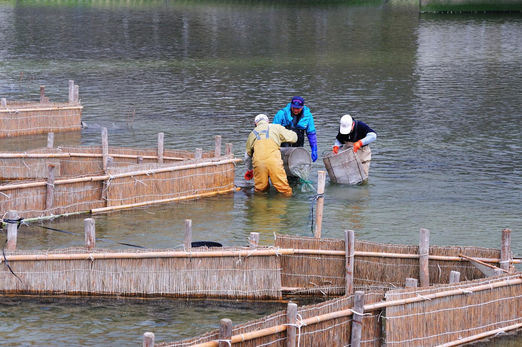 春の風物詩・室見川のシロウオ漁(2009)の画像
