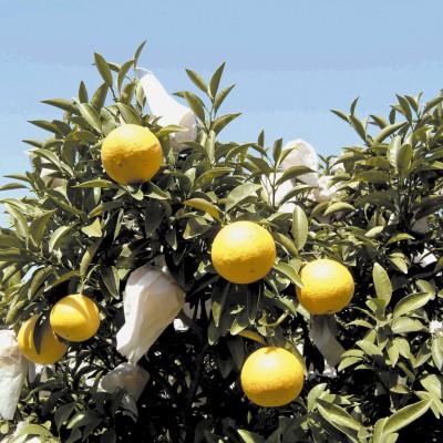 ニューサンマーオレンジ(撮影年不明)の画像