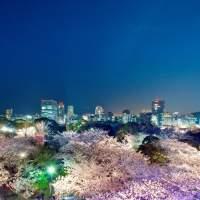 舞鶴公園・桜 福岡城さくらまつり(2013)の画像