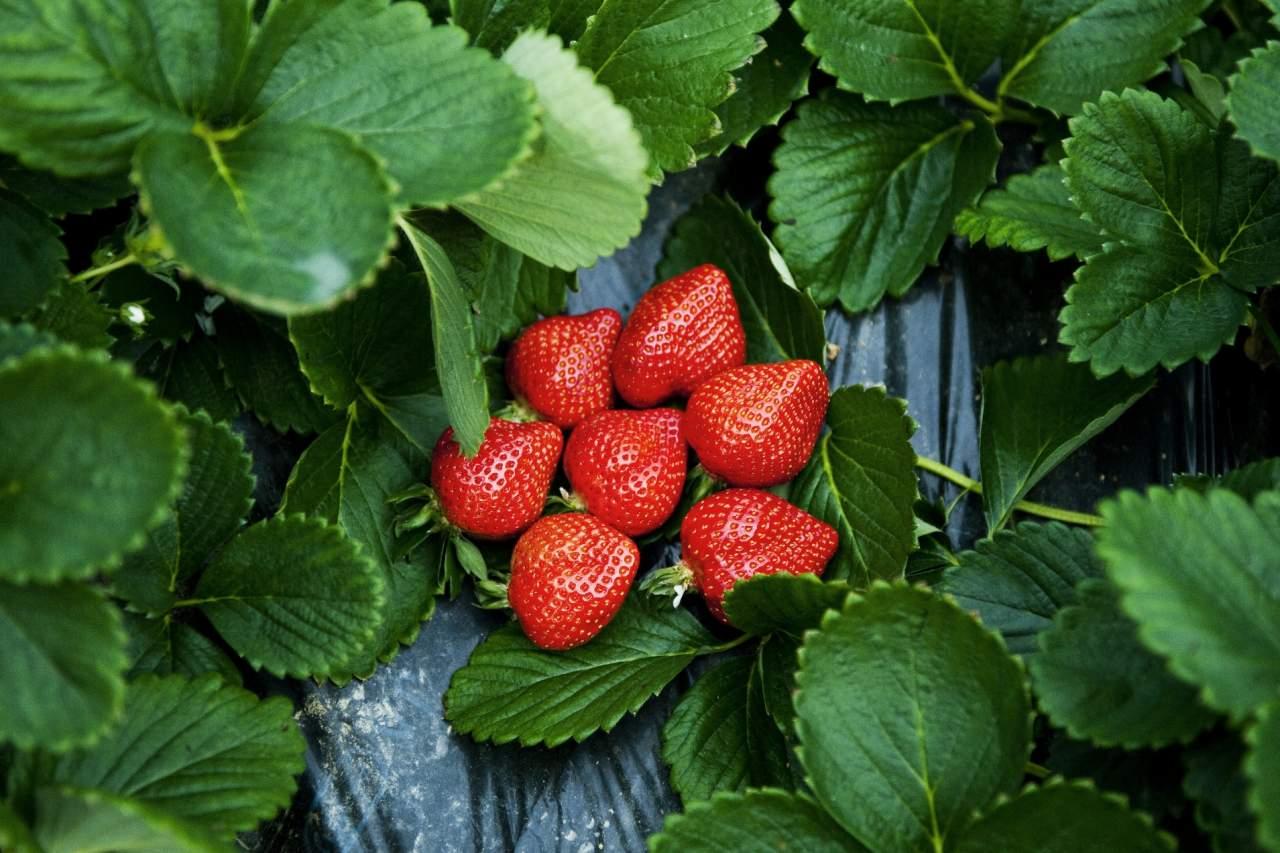 하카타 아마오우(딸기)(2014)의 이미지