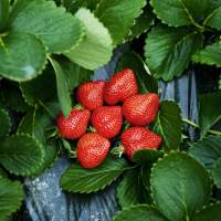 Image of Hakata Amaou Strawberries(2014)