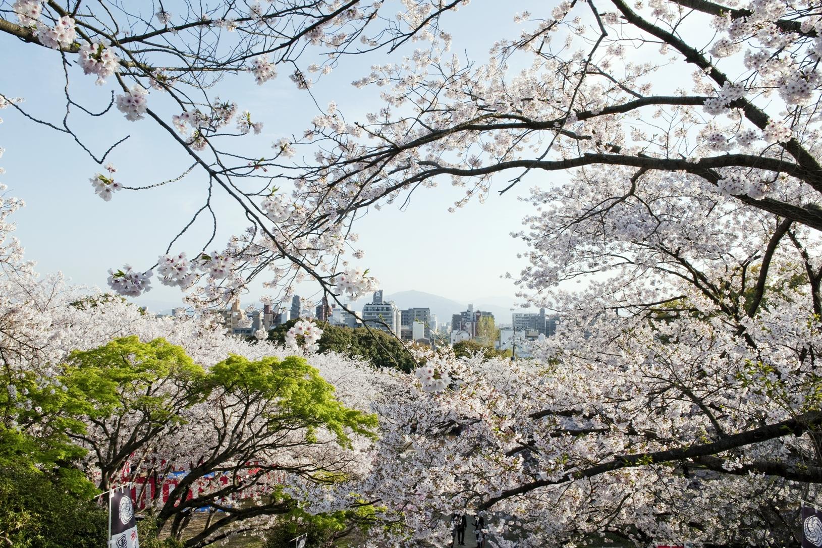 西公園・桜(2014)の画像
