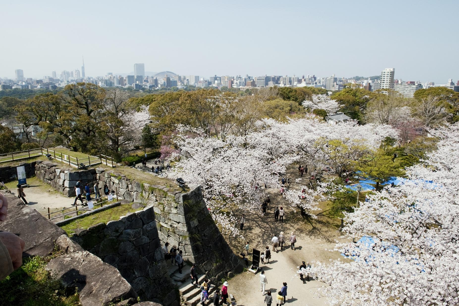 舞鶴公園・桜 福岡城さくらまつり(2014)の画像