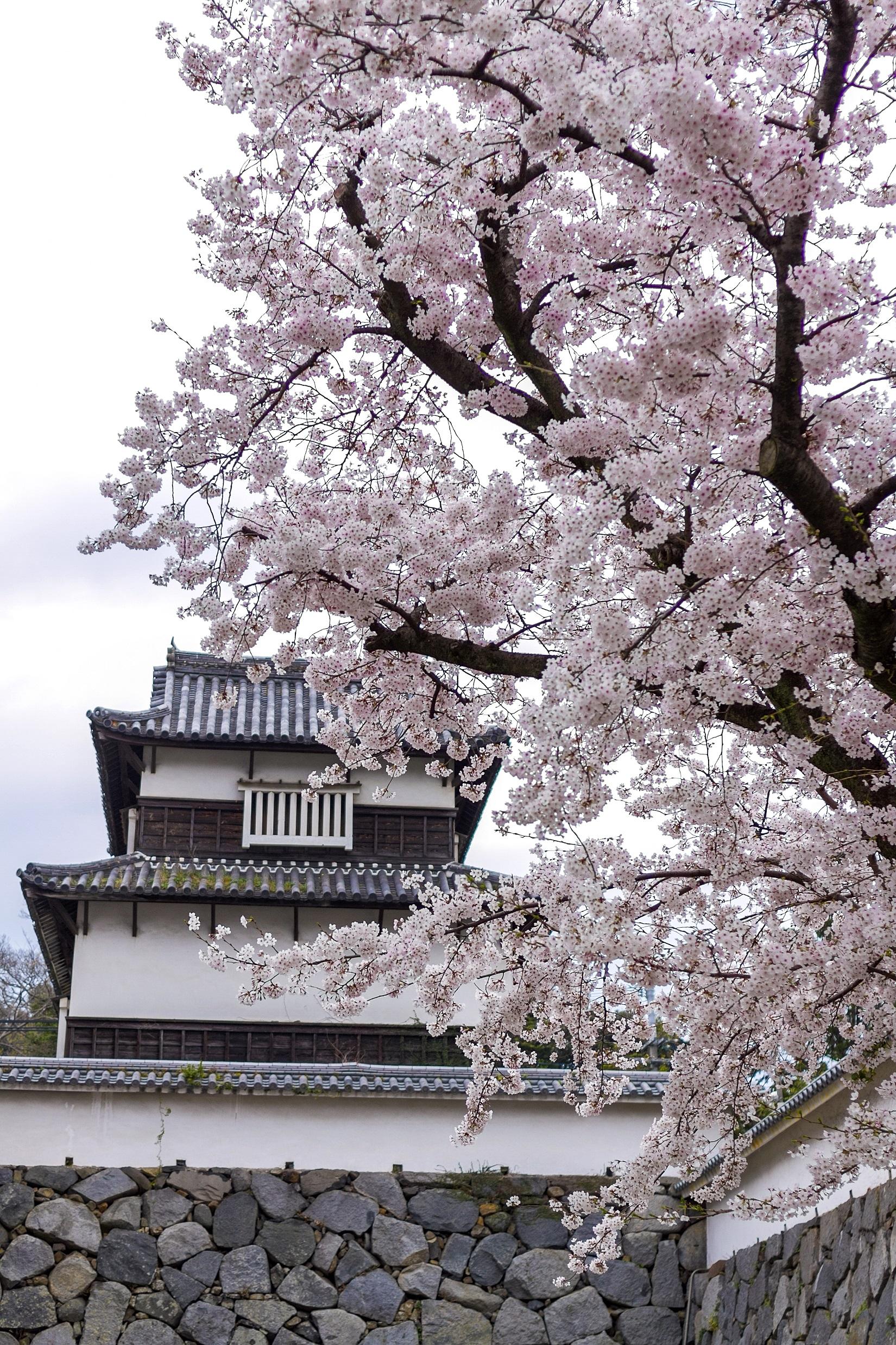 舞鶴公園・桜 福岡城さくらまつり(2015)の画像