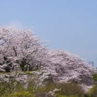 Image of Fukuoka Castle Cherry Blossom Festival(2015)