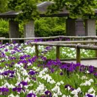 舞鶴公園・花菖蒲(2015)の画像