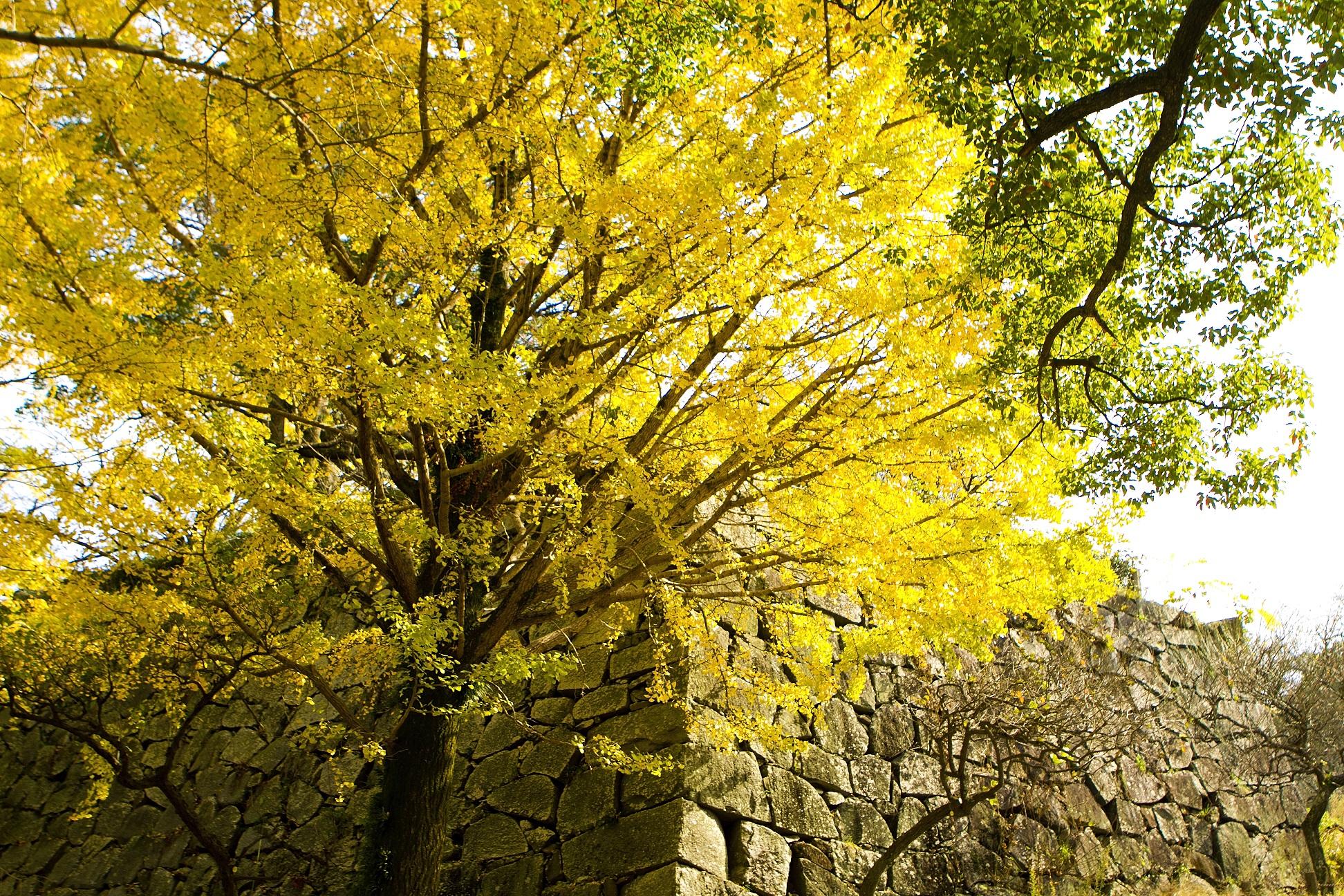 舞鶴公園・銀杏(2015)の画像
