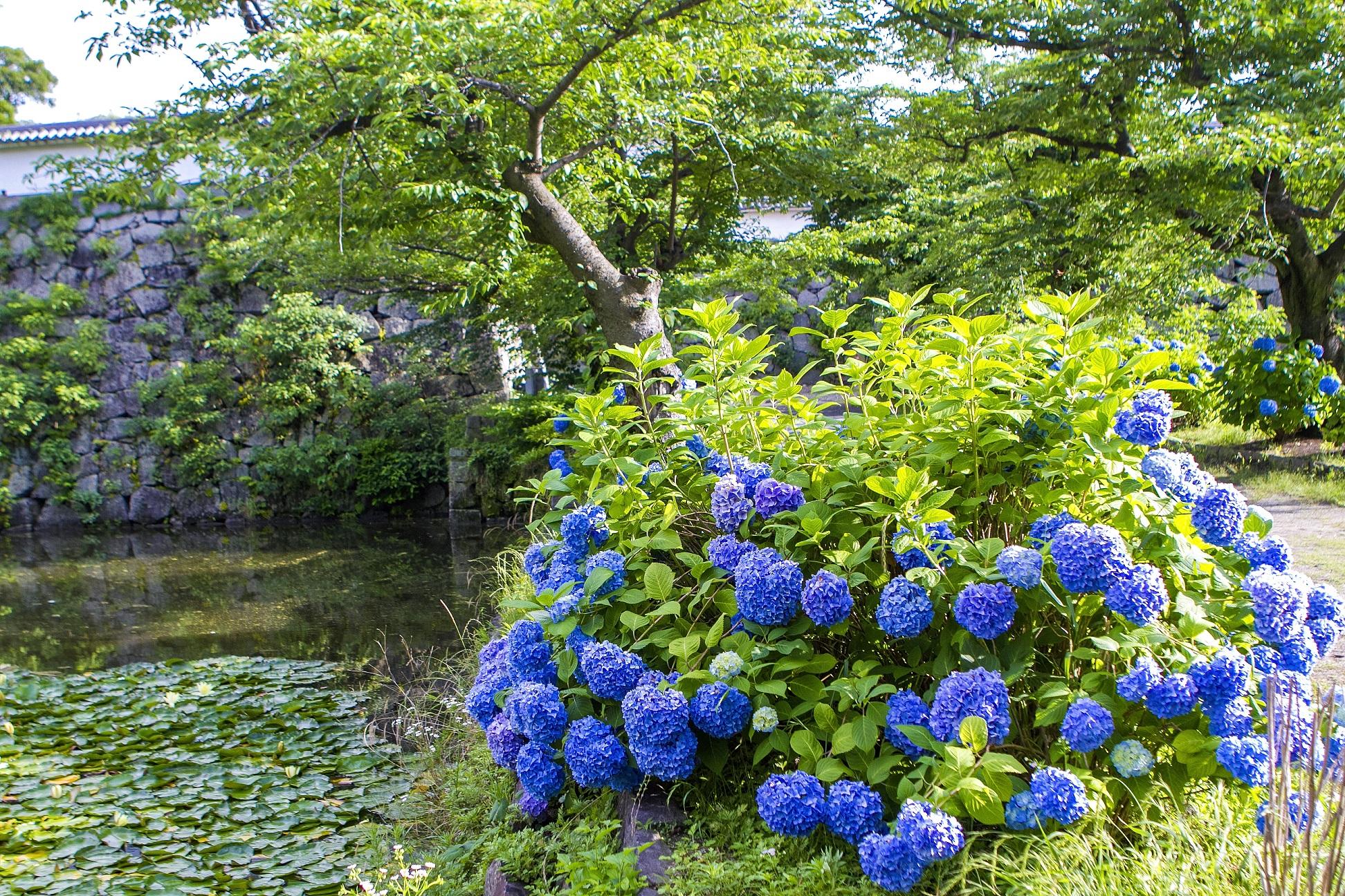 舞鶴公園・紫陽花(2015)の画像