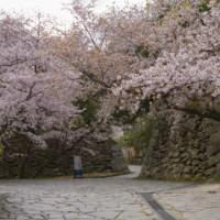 舞鶴公園・桜(2019)의 이미지