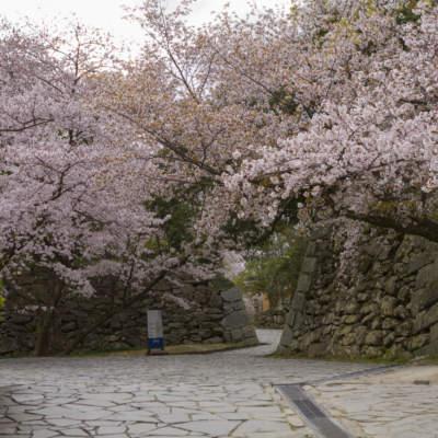 舞鶴公園・桜(2019)の画像